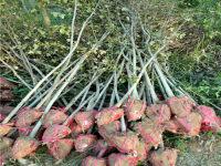 枫香米径2公分苗圃苗