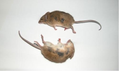 安全灭鼠七法