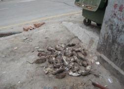 厦门专业除老鼠