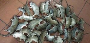 厦门除鼠防治