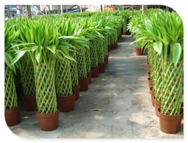 富贵竹笼养殖