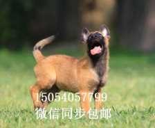 马犬幼犬多少钱