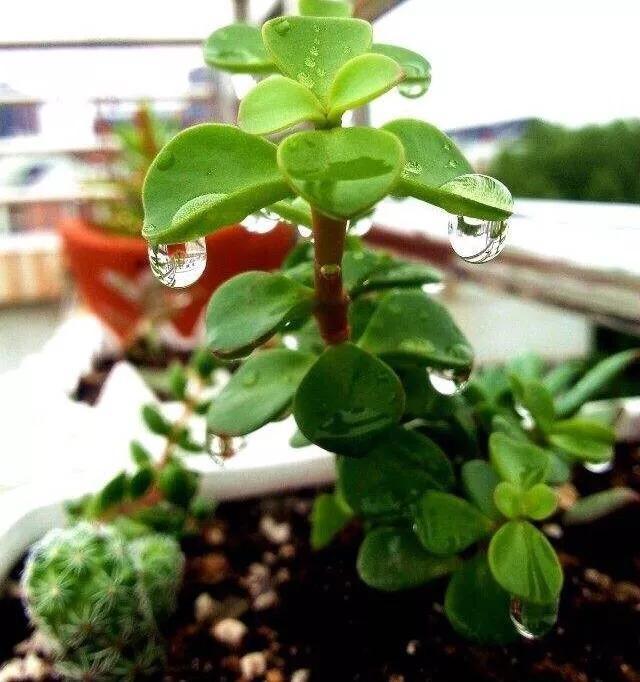 盆栽花可以雨淋一天吗?
