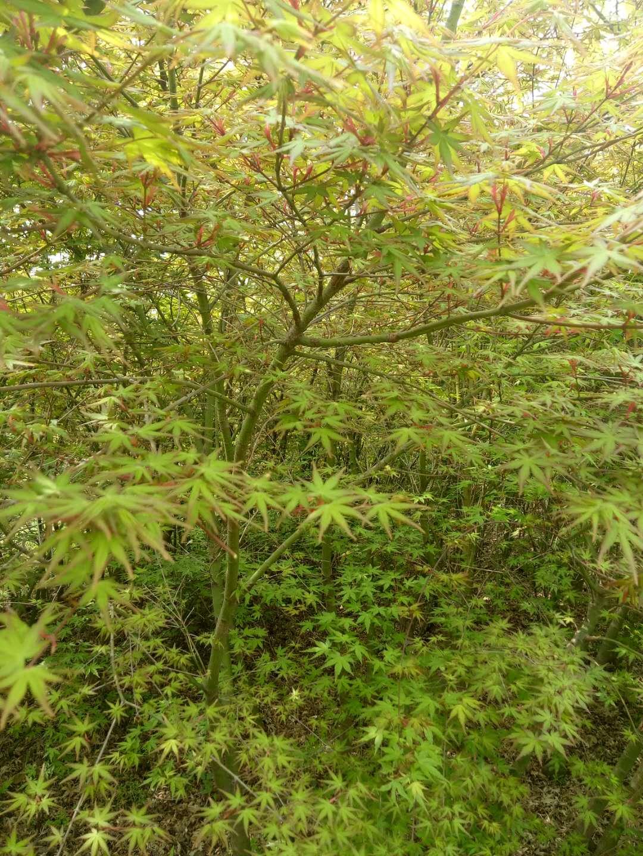 小叶鸡爪槭4-5公分