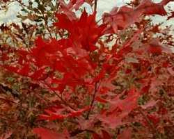 娜塔栎~北美红栎
