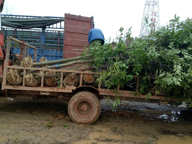 木荷米径8-10公分