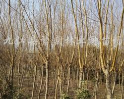 黄山栾树1