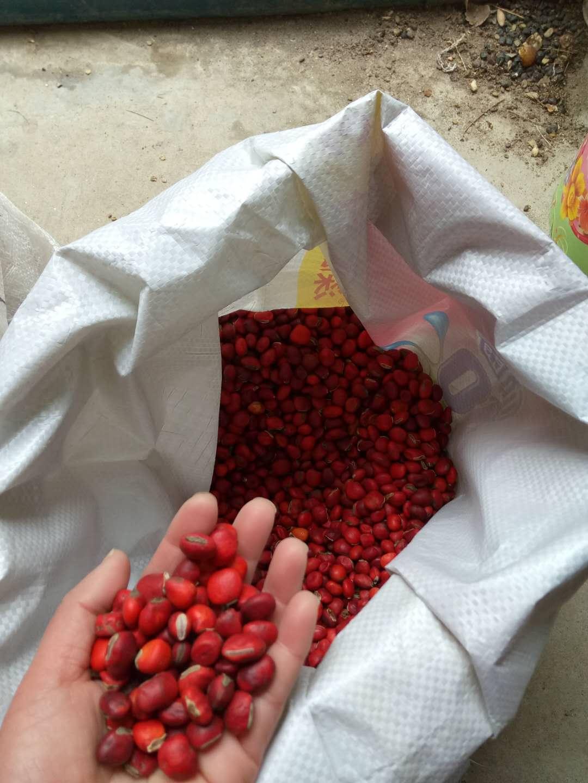 颚西红豆种子