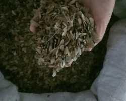 小叶鸡爪槭种子