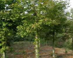 枫香截杆苗8-12公分。