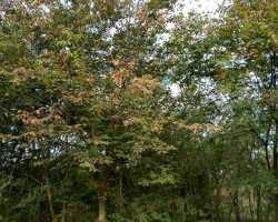 榉树2-12公分