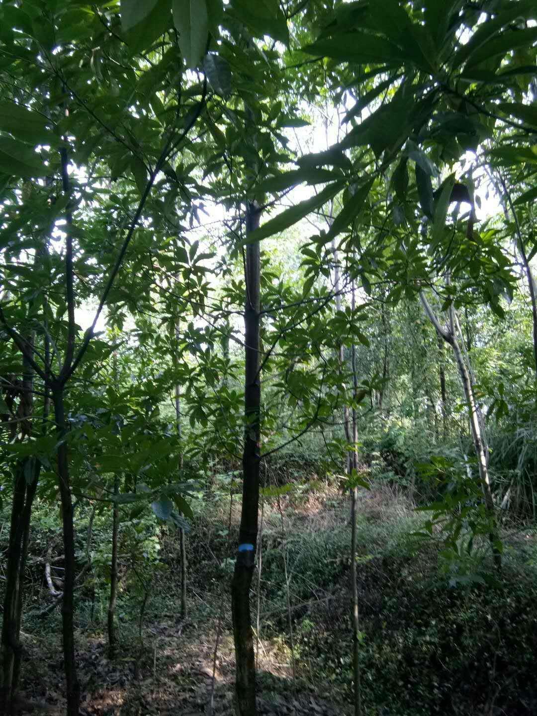 木荷7-12公分1