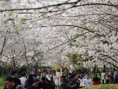 2019上海樱花节在顾村公园拉开帷幕!