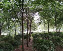 榉树8-12公分