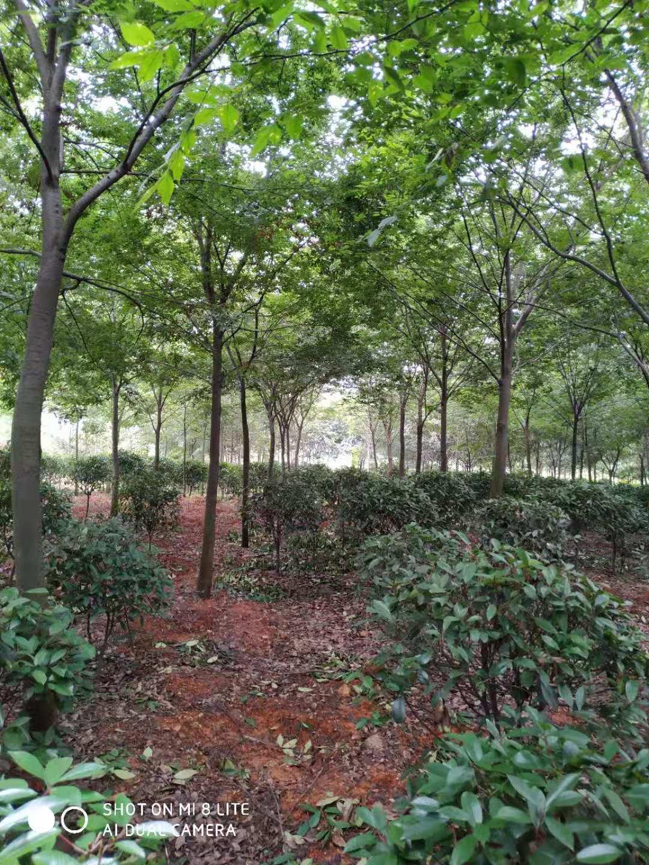 榉树8-12公分-2