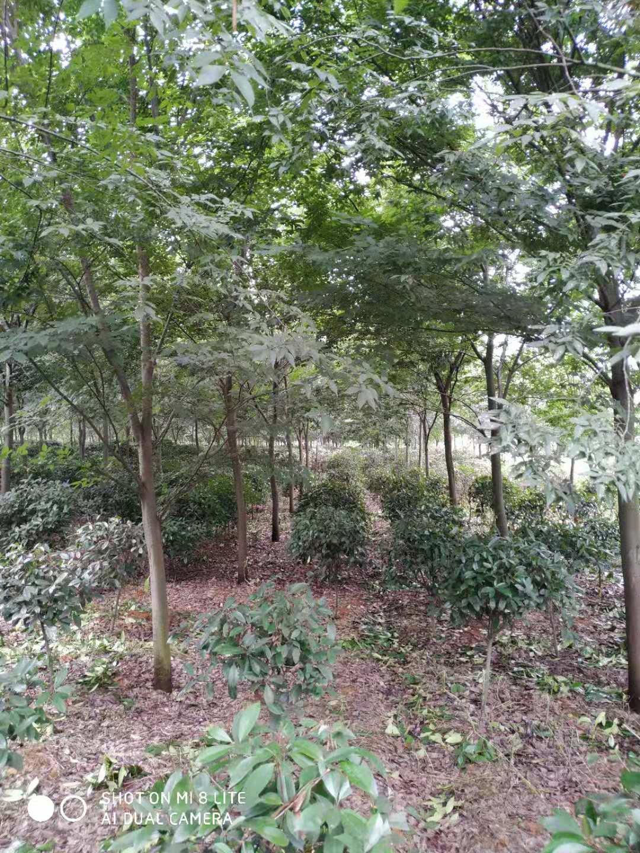 榉树8-12公分-1